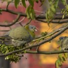 Urban Birding- Yellow Footed Green Pigeons